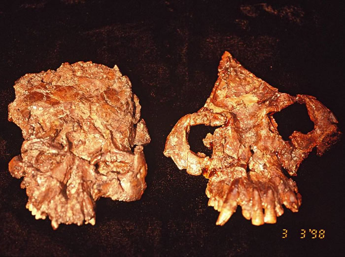 禄丰古猿头骨, 左曾经发表为为腊玛古猿,现修正为禄丰古猿的雌性(吉学平供图)