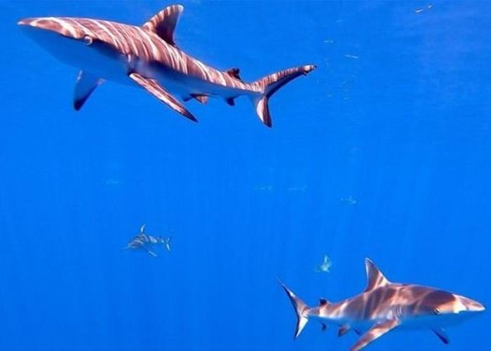 鲨鱼数量急降 英国科学家提出使用卫星扫描技术监测打击非法捕鱼