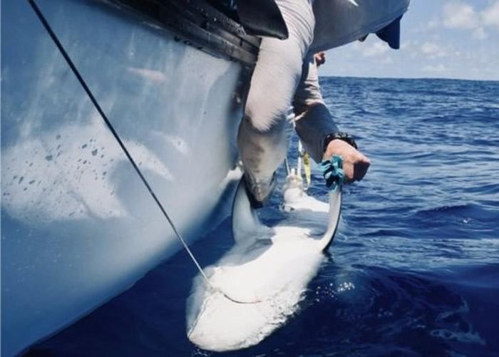 研究人员为鲨鱼戴上电子标签。
