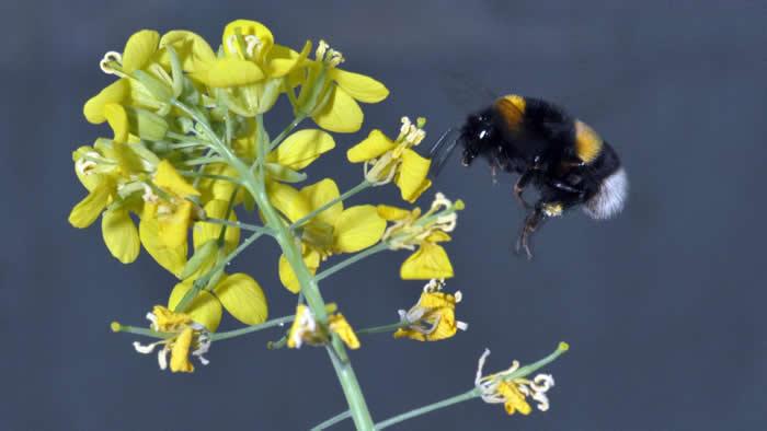 具授粉功能的大黄蜂和蝴蝶可帮助植物长出更漂亮的花朵 有害的食草动物则不会