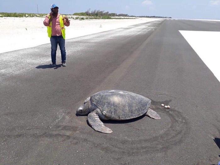马尔代夫诺努环礁的马法鲁机场绿蠵龟妈妈上岸产蛋发现老家变成跑道