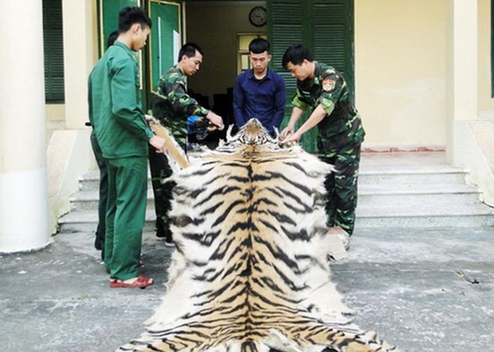 越南乂安省男子走私老虎毛皮和虎骨进入中国时被捕