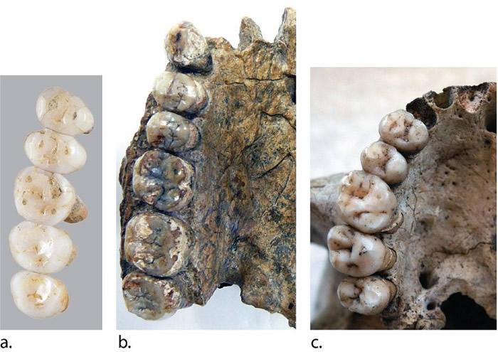 吕宋人的牙齿尺寸(a)与其他古人种(b,c)不同。