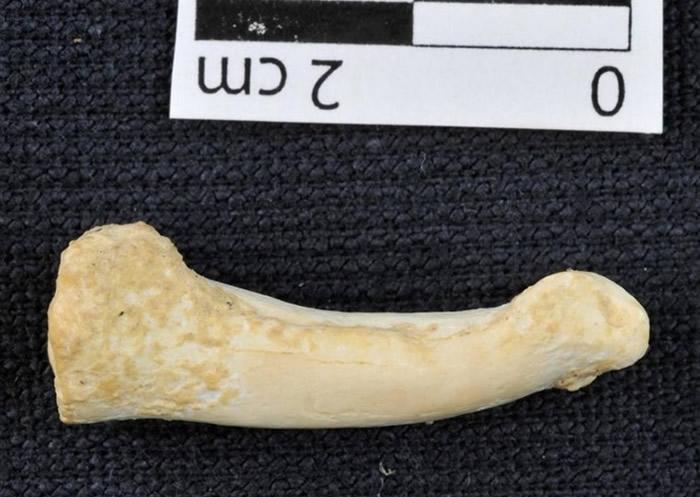 出土的脚趾骨(图下)呈弯曲,显示吕宋人或善于攀爬。