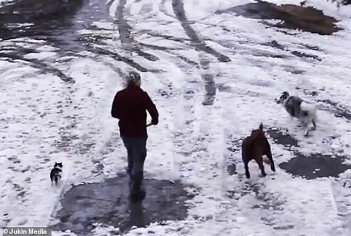 目睹女主人倒车快辗毙吉娃娃 加拿大边境牧羊犬瞬间冲出救好友