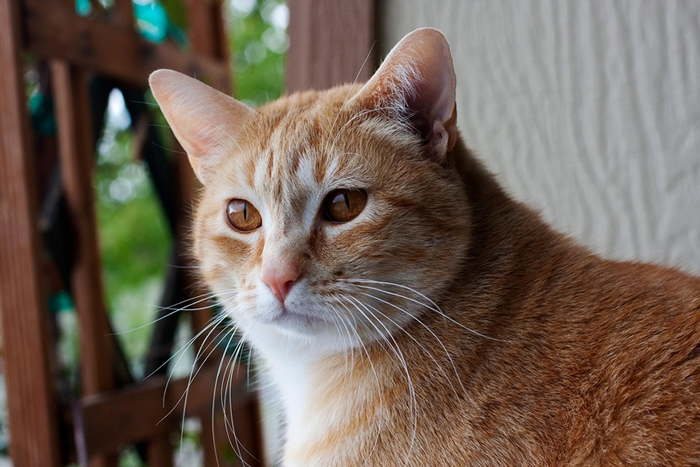 猫会把自己的名字跟诸如食物或摸摸之类的奖赏链接在一起。 PHOTOGRAPH BY MARC MORITSCH, NAT GEO IMAGE COLLECTIO