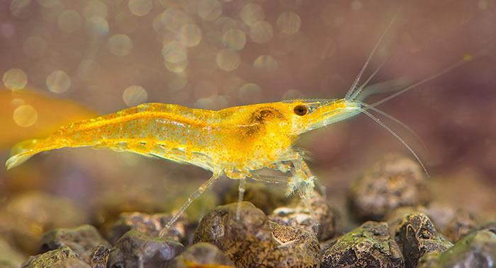 《鱼类与有壳水生生物免疫学》:研究出治疗虾类罹患致命的白斑综合征病毒(WSSV)的药物