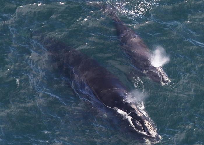 美国麻省科德角对开海域发现2对属濒危物种的露脊鲸母子