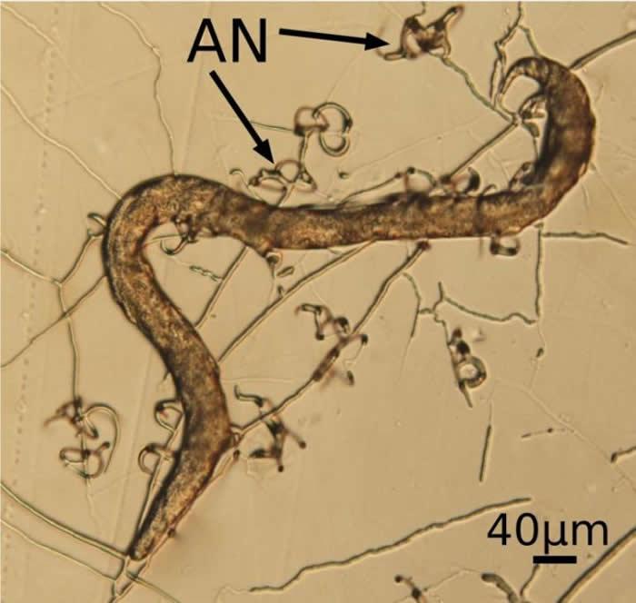 少孢节丛孢利用三维粘性菌网捕食线虫