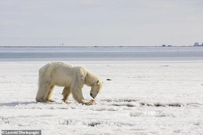 """俄罗斯北极熊""""乌姆卡""""为觅食流浪700公里 饿得不似""""熊""""形"""
