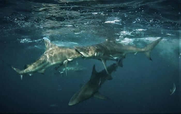 南非开普敦摄影师Mia Vorster拍到黑鳍鲨张口吞同类的惊人画面