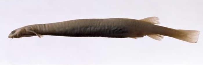 """南美洲亚马逊热带雨林透明小""""牙签鱼""""(卷须寄生鲶)爱闻尿味会钻入男性生殖器吸血"""