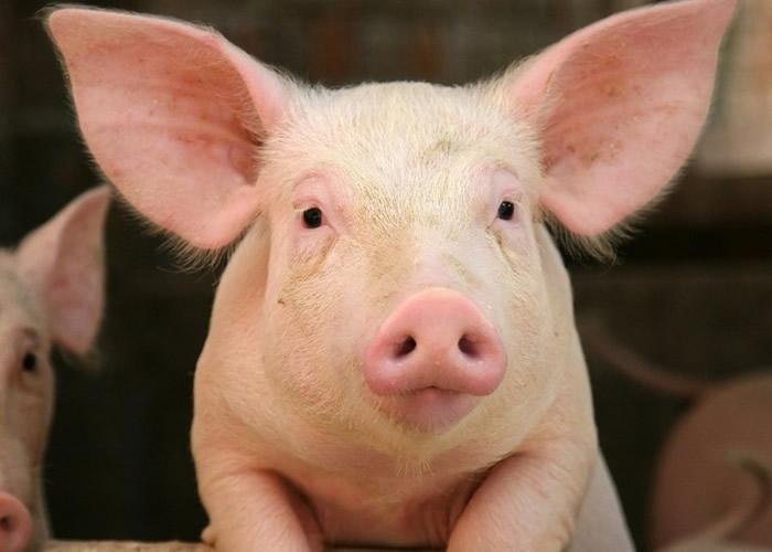 研究人员为死猪大脑注入人造血,令脑细胞局部激活。