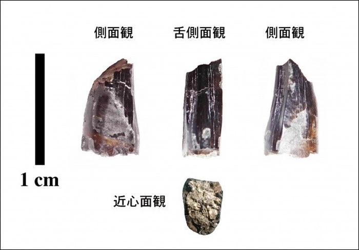 """日本岩手县高中生在""""久慈琥珀博物馆""""挖到9000万年前暴龙牙齿化石 可能是新种恐龙"""