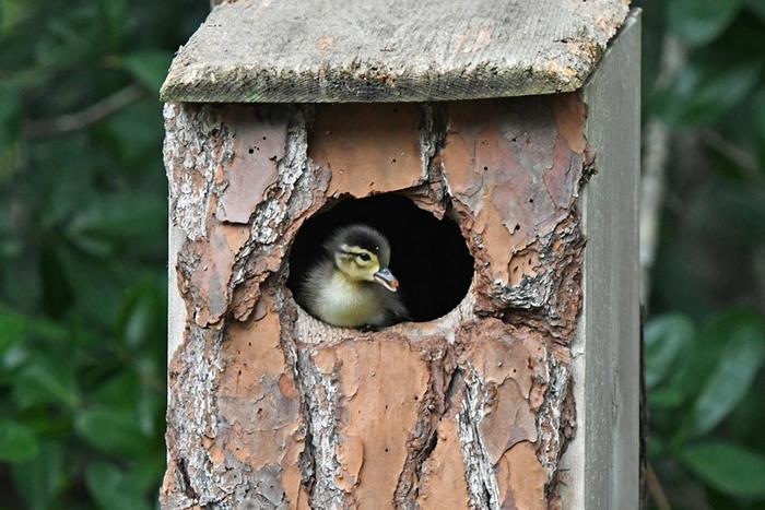 小木鸭非常早熟,它们小小年纪便能够独立生存。 PHOTOGRAPH BY LAURIE WOLF