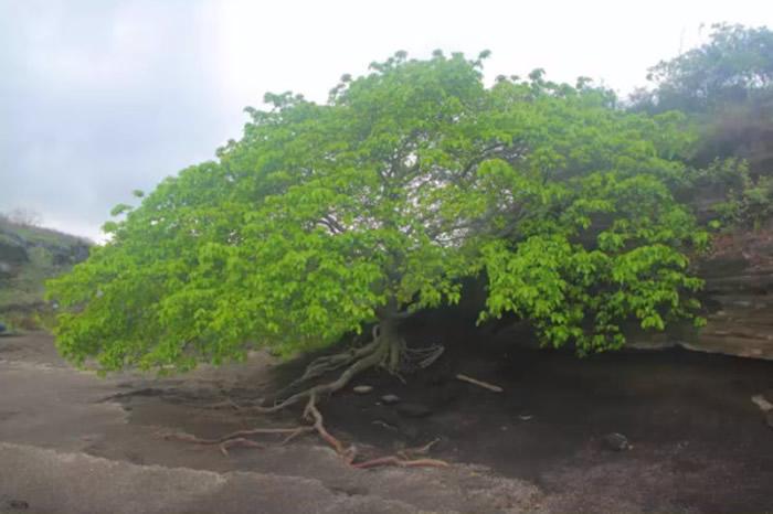世界上最危险的树木:千万别在毒番石榴树下避雨