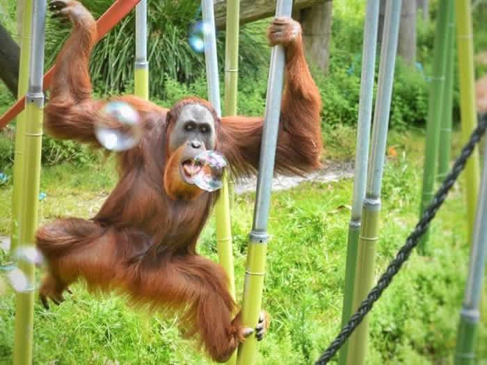 澳洲墨尔本动物园15岁红毛猩猩4年内2度逃离