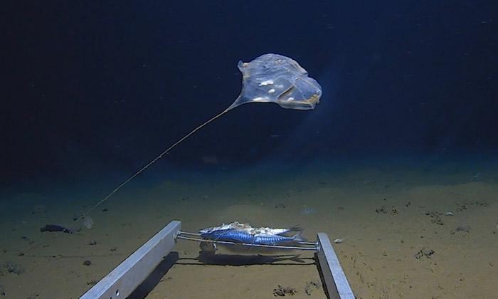 """神秘海洋生物现身印度洋7000米海底 状如水母发蓝光疑是""""海鞘"""""""