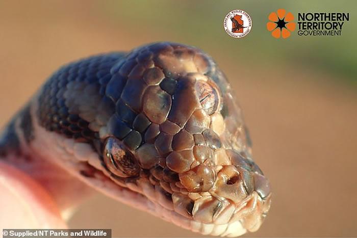 """澳洲达尔文东南方的阿纳姆公路附近发现""""三眼""""突变地毯蟒"""