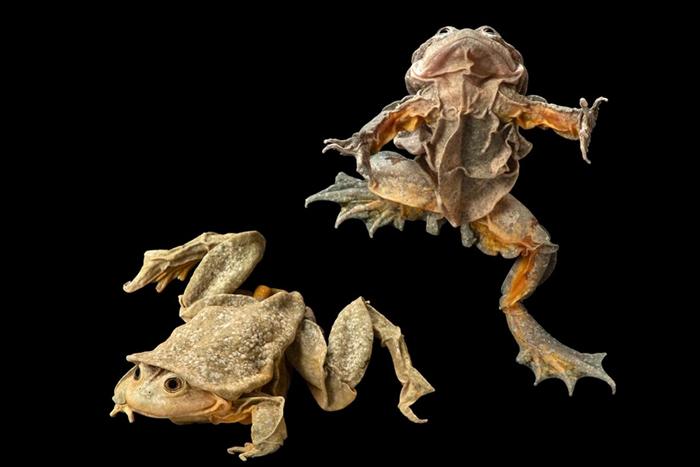 的的喀喀湖蛙因为可以制作成一种称为「青蛙汁」的壮阳饮料,因此常被盗猎,极度濒危。 PHOTOGRAPH BY JOEL SARTORE, NATIONAL GE