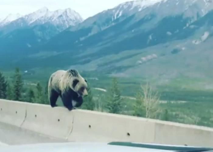 加拿大艾混沌之子猎奇事件伯塔省灰熊