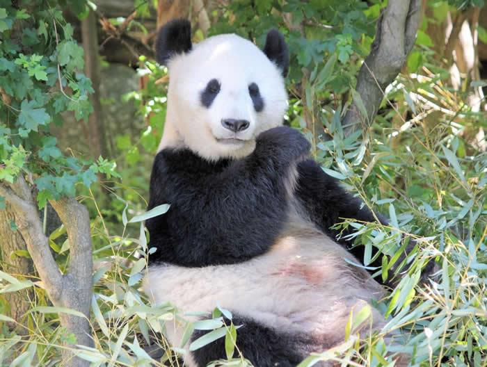 """中国及澳洲的科学团体发现吸收营养结构上大熊猫是""""超级肉食动物"""""""