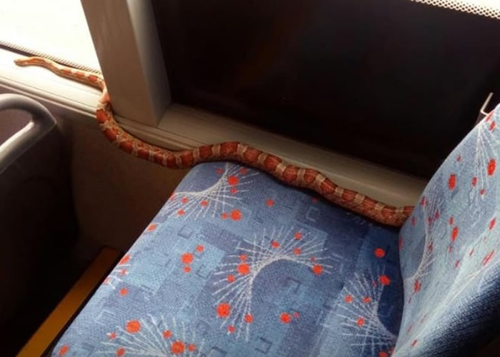 """英国苏格兰佩斯利一条玉米蛇独自""""乘搭""""巴士"""