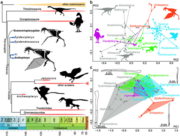 中生代虚骨龙类系统树和肢骨演化:在飞行起源时,副鸟类不同类群显示出不同的前肢加长过程:善攀鸟龙类通过肱骨加长,结合第三手指和棒状长骨附着膜质翅膀;而驰龙类、伤齿
