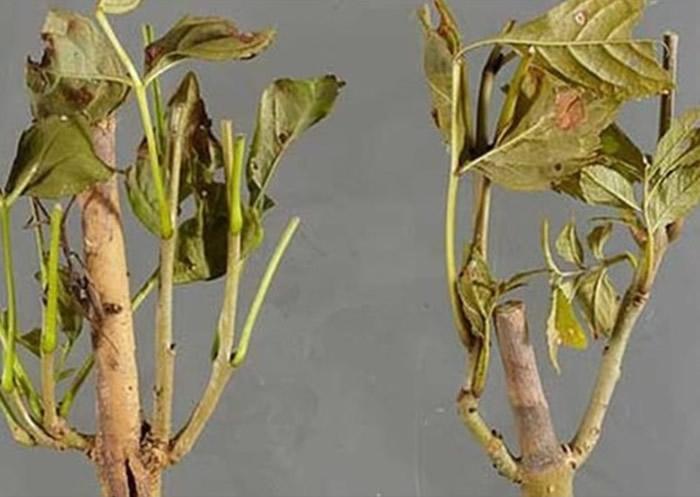 白蜡树枯梢病感染并杀死数百万棵白蜡树。