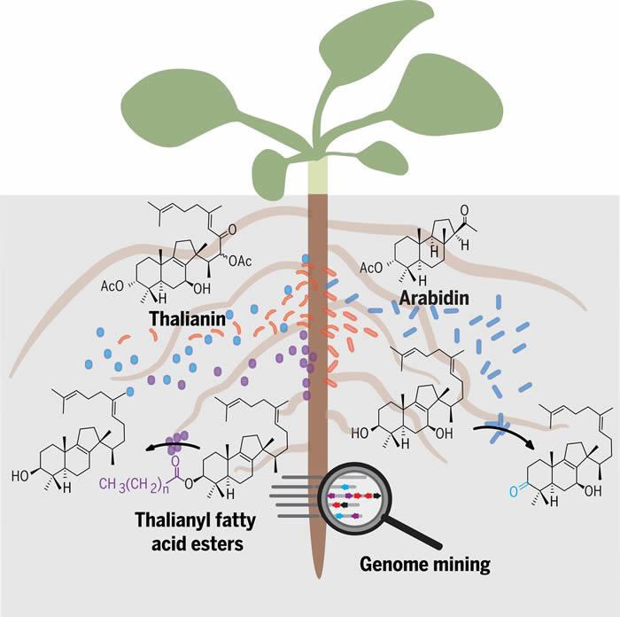 植物根部会用特化代谢物定制其土壤环境