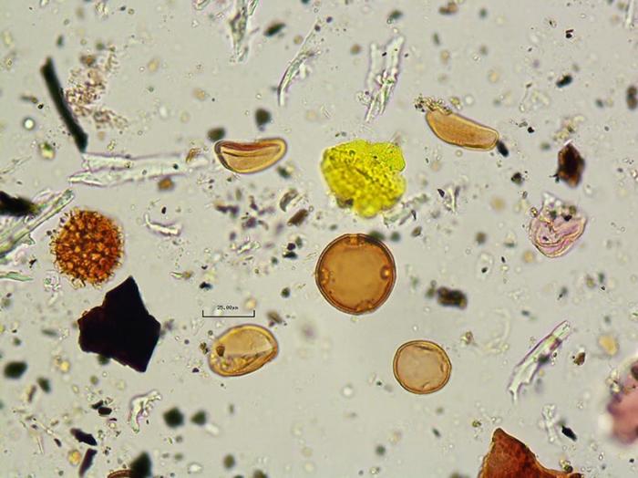 研究人员也分析了粪化石里找到的花粉,显示这个人吃了丝兰的花。 PHOTOGRAPH COURTESY OF CRYSTAL DOZIER