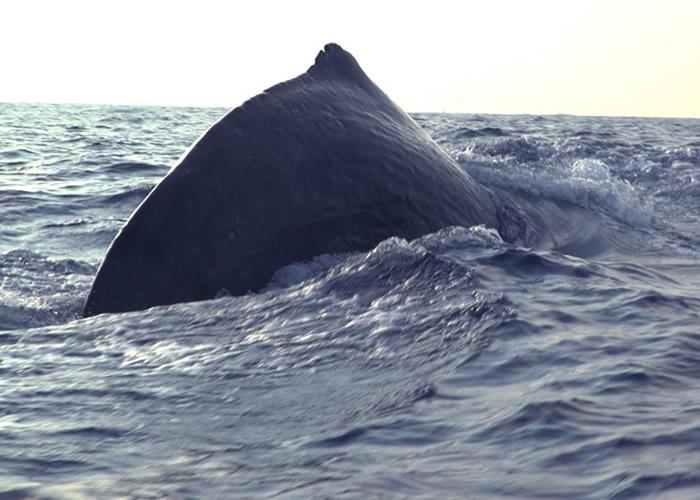 """中国科学院科考人员进行""""南海深潜鲸类科考航次""""考察期间首次发现抹香鲸母子"""
