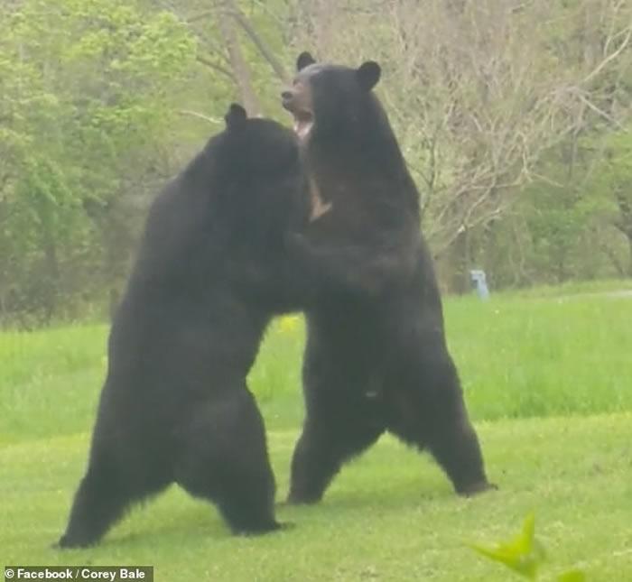 """美国新泽西州男子家门前惊现两只大黑熊""""相扑"""""""