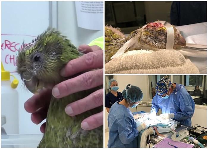Espy 1B是全球首只接受脑补洞手术的禽鸟。
