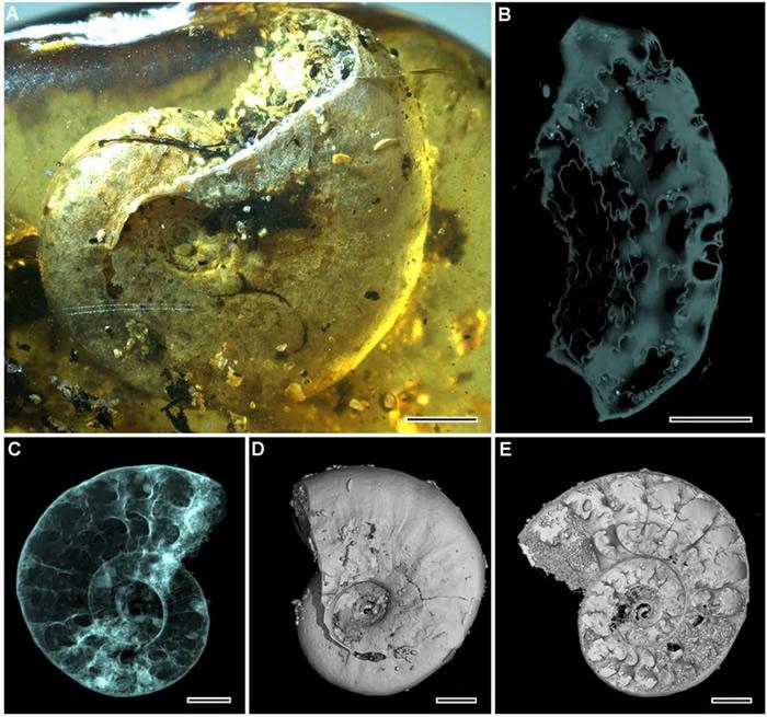菊石标本 (A) 光学显微镜照片。(B) 显微CT缝合线重建图。(C) 显微CT侧面透视图。(D) 显微CT表面形态重建图。(E) 显微CT内部结构重建图