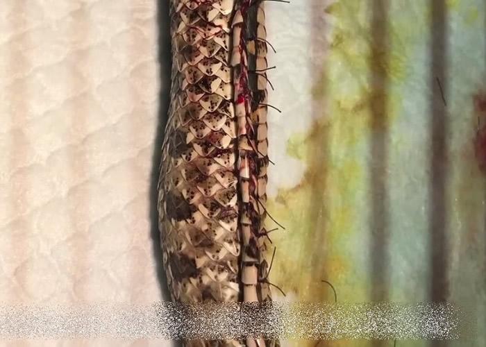 江苏南京宠物猪鼻蛇因临盆时出现难产 医生剖腹手术助保命
