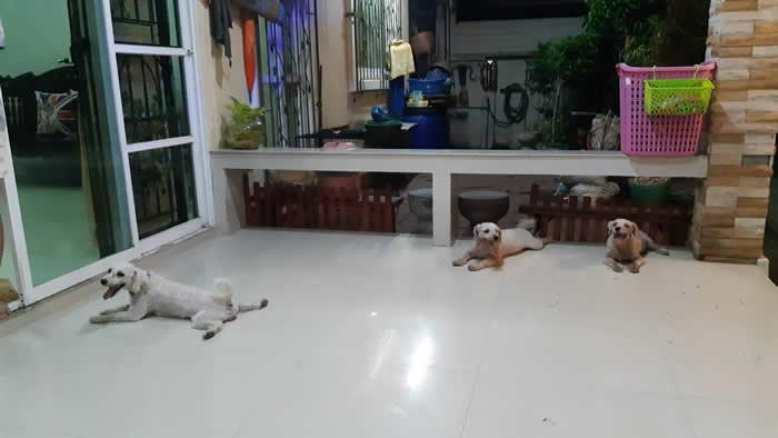 泰国春武里府芭达雅3只贵宾犬为救伙伴咬死2公尺巨蟒