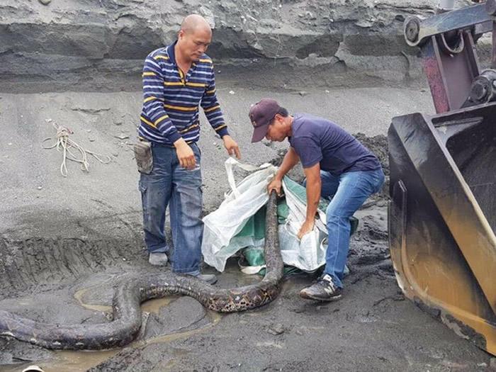 台湾屏东县斜张桥附近工地惊现5公尺长巨蛇