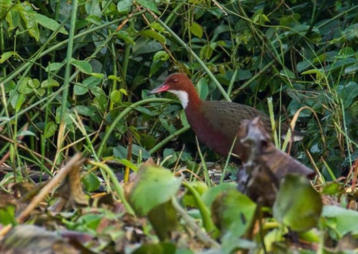 白喉秧鸡来自马达加斯加。