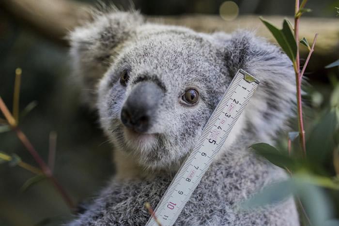 栖息地破坏和配偶数量锐降 澳洲无尾熊正走向灭绝