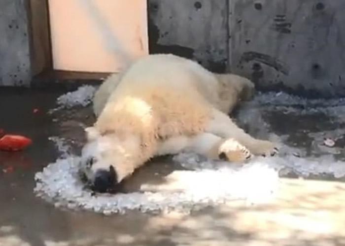 美国犹他州霍格尔动物园北极熊滚冰消暑 萌态可掬