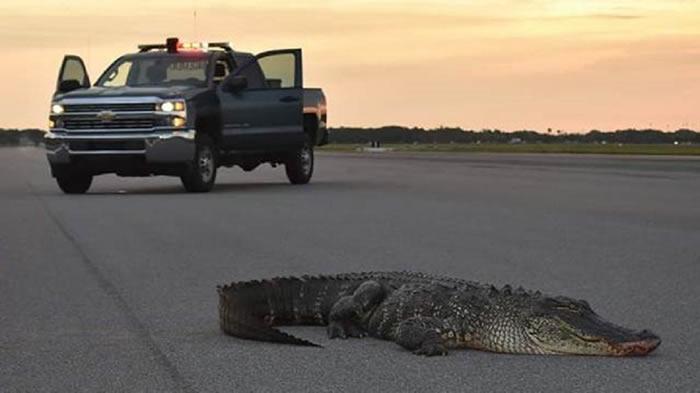美国佛罗里达州坦帕市的麦克迪尔空军基地惊现大鳄鱼