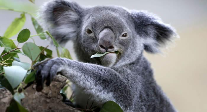 澳大利亚考拉基金会通告考拉(树袋熊)事实上正在灭绝
