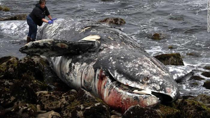 美国西部沿岸地区发现大量灰鲸死亡 科学家认为可能是由于北极海增温引发食物短缺导致