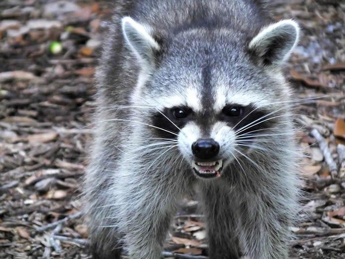 僵尸浣熊也在美国出现了 芝加哥惊见眼睛发绿光的zombie raccoons