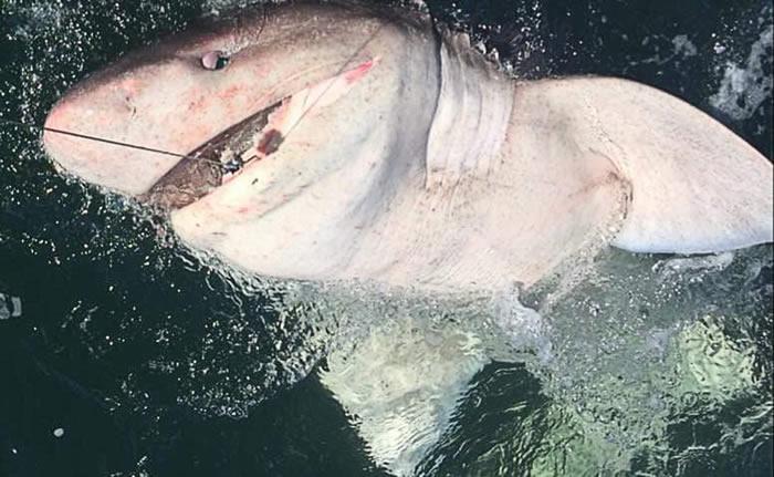 英国爱尔兰克莱尔郡女子钓起半吨重的罕见六鳃鲨