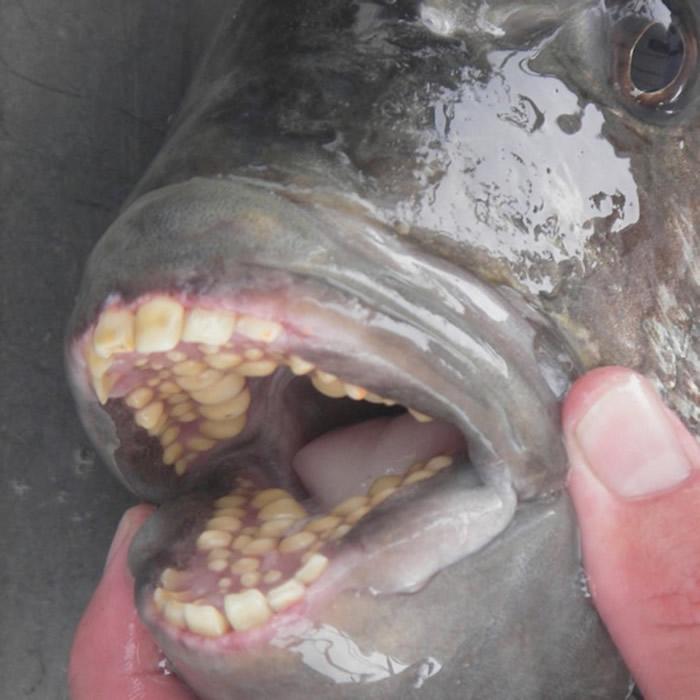 长着几排人类牙齿的鱼被冲上美国北卡罗来纳州海滩 专家称羊鲷鱼