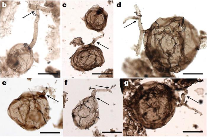 加拿大北极页岩中发现迄今最古老真菌化石 来自10亿年前