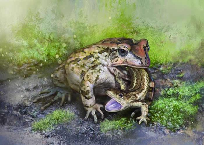 格尼蛙吞食诺敏螈生态复原图(绘图/张宗达 Cheung Chungtat)