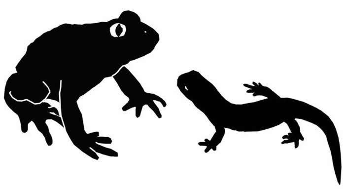 格尼蛙和诺敏螈的体型对比(绘图/苏珊·E·埃文斯)